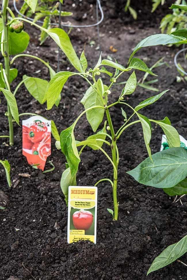 Lowes-Pepper-Patch8