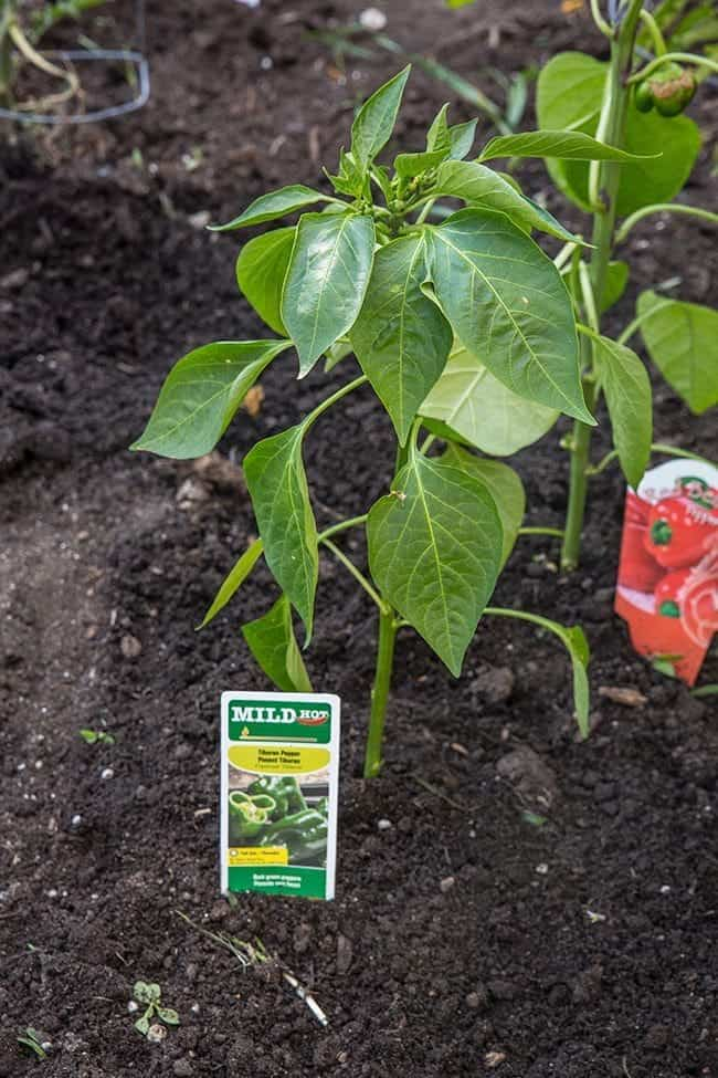 Lowes-Pepper-Patch9