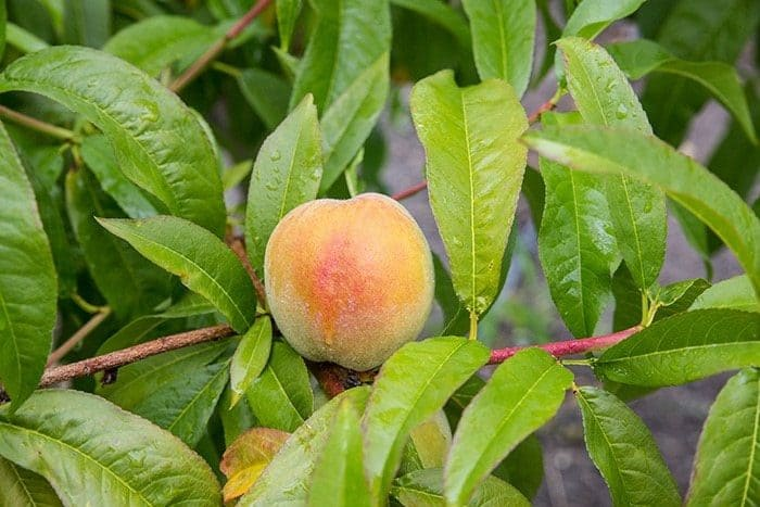 fresh peach fruit in tree