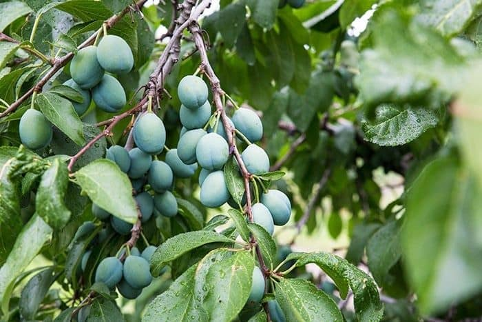 fresh plums in the tree