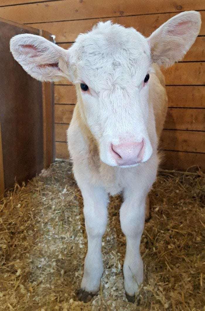 Feedlot Calf Rescue