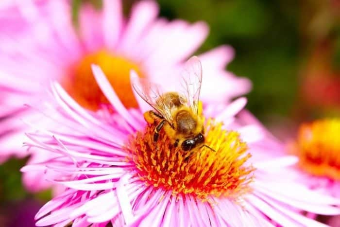 close up of a bee pollinating pink flower