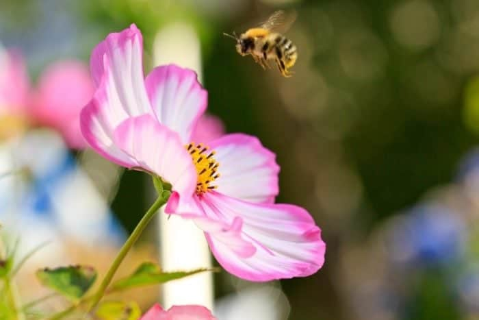 close up of pink flower with a bee flying near to it