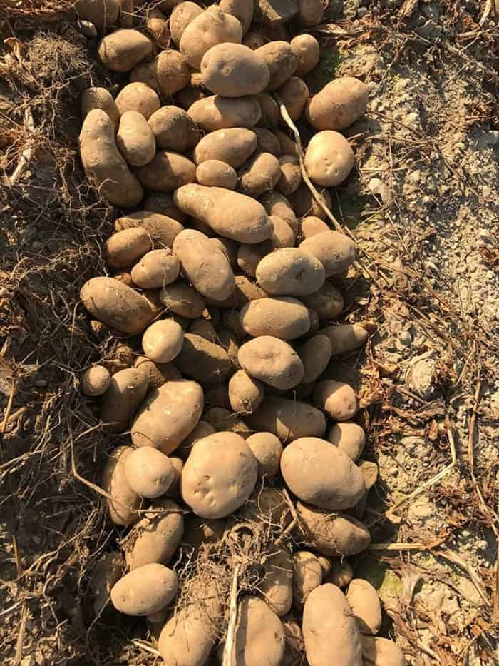Dug up potatoes and deposited into three rows