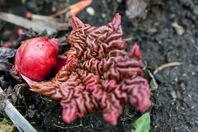 Rhubarb first emerging from the ground in spring