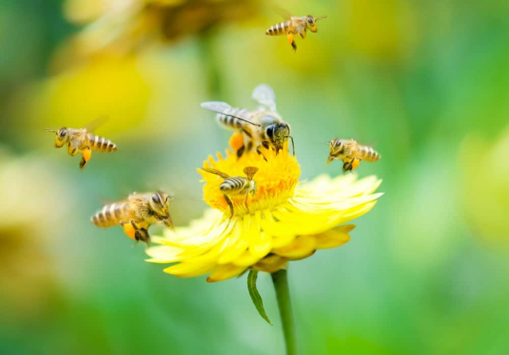 Bees gathering nectar from yellow flowers for honey